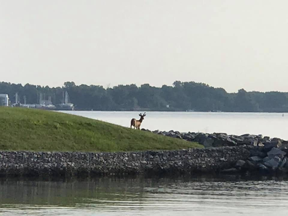 Deer at the marina entrance