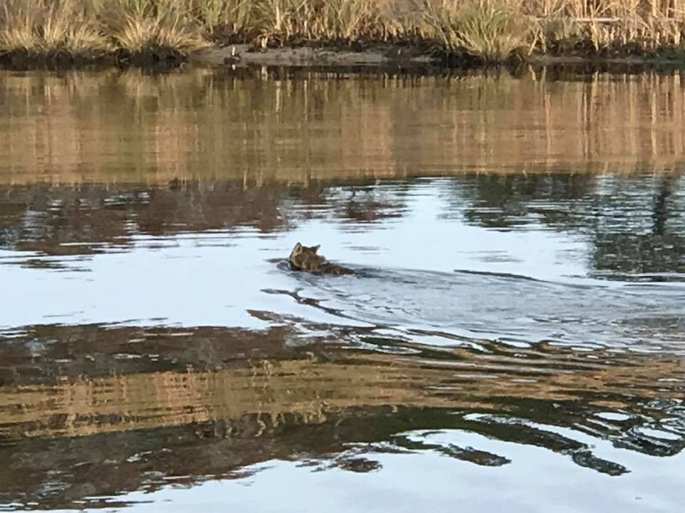 Swimming fox on the Alligator-Pungo Canal