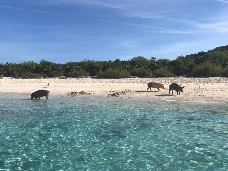 Big Major Pig Beach